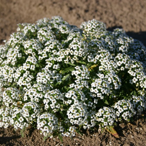 Alyssum Sweet Carpet Of Snow