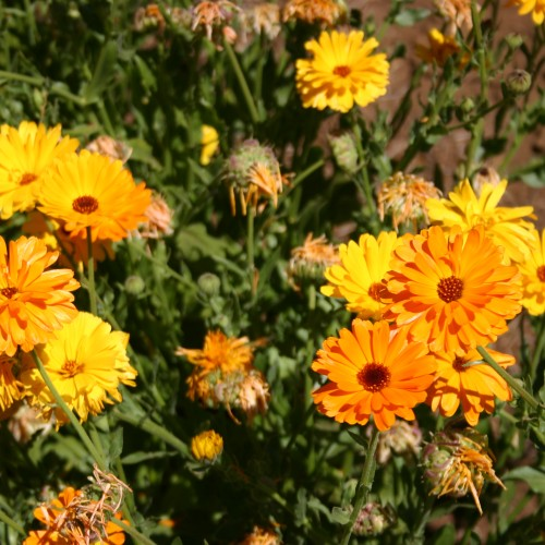 Calendula Fancy Mix